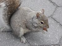 New York Squirrel 3