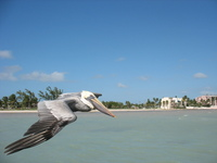 Pelican Strafing