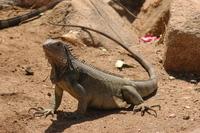 Lizards of Aruba