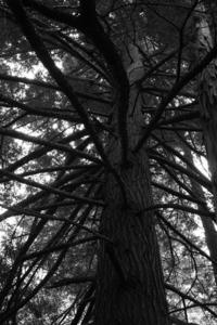 Hemlock Black and White