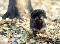 Autumn dachshund