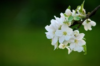 Flowers of apple tree